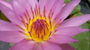 Lotus Flowers: Blooming lotus petals purple light. A mix of yellow, purple stamens. Lotus is a water plant With beautiful flowers Preferred to worship The stem or lotus root, some species can be eaten.