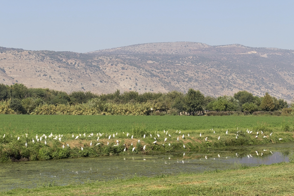 Egrets: Cattle egrets (Bubulcus ibis) in the Hula Valley, Israel.