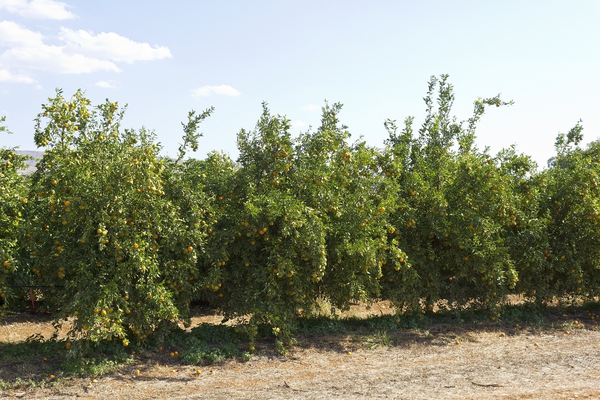 Orange orchard: An orchard of orange trees in northern Israel.