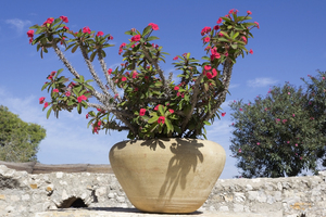 Patio pot plant: A pot plant in a patio garden in Israel.