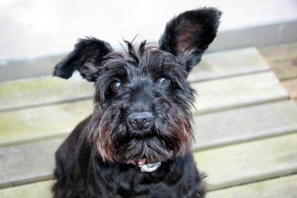 Black schnauzer: A schnauzer /ˈʃnaʊzər/ (German: [ˈʃnaʊtsɐ], plural Schnauzer) is a dog breed that originated in Germany in the 15th and 16th centuries. The term comes from the German word for