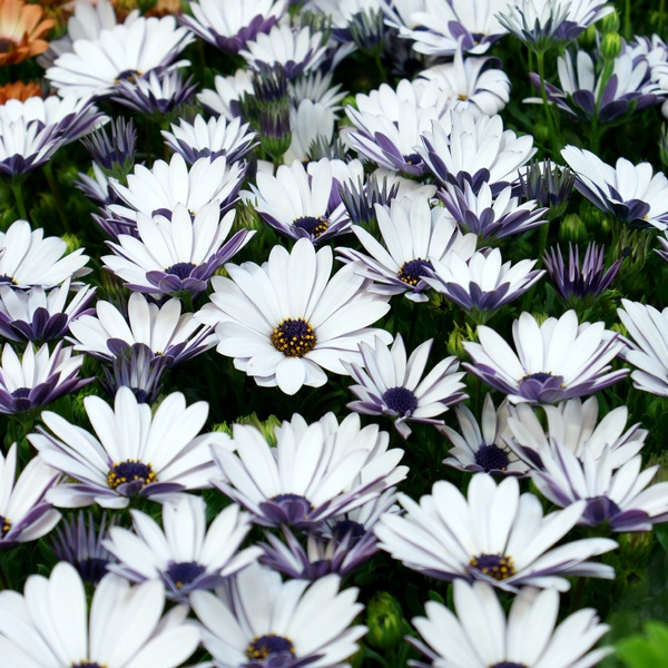 white flower carpet