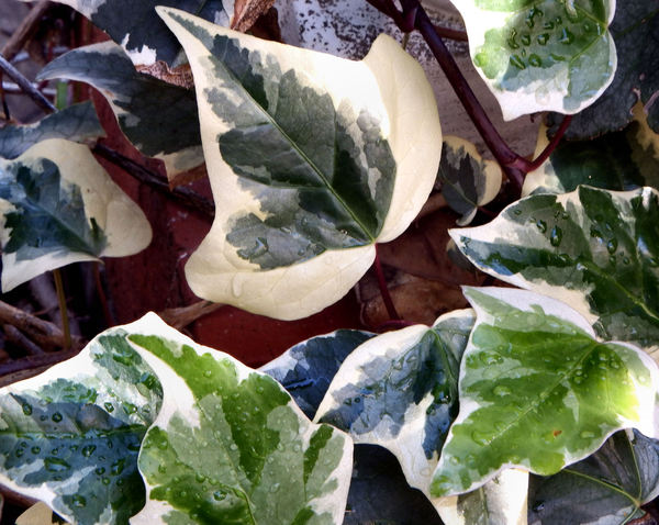 ivy creeper 4: variegated ivy leaves close-up