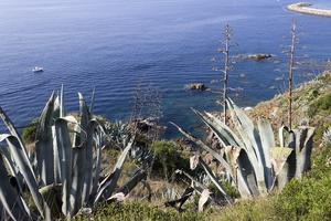 Agave plants: Agave plants on the Costa Brava, Spain.