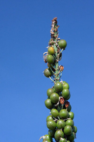 Green berries 1