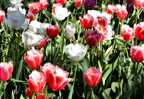 spring tulips7