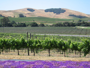 Napa Valley: Grape vines in the Napa valley, California