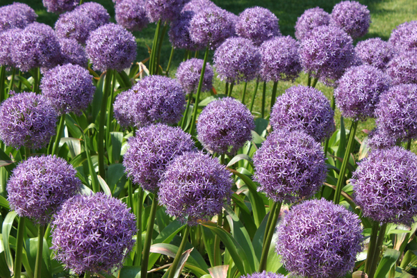 Purple Alliums: A display of purple alliums in the public park in Boston