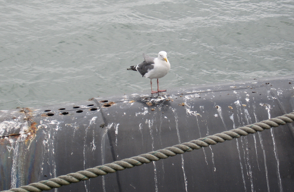 Gull and droppings