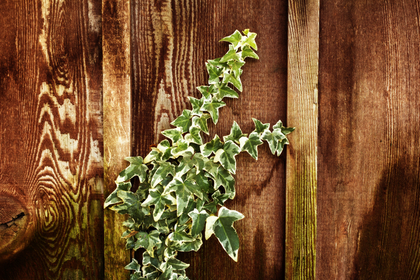 Ivy on redwood fence