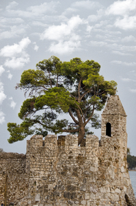 pine tree in castle