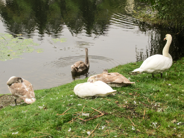 swans at lakeside 3