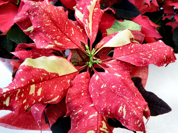 Christmas poinsettias3