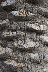 Palm bark texture: Bark of a palm tree in Israel.