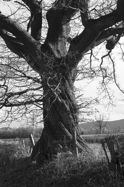 Winter oak tree B/W