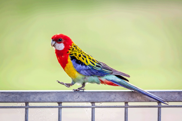 Eastern Rosella: The eastern rosella is native to the southeast of Australia.It grows to approx.30 cm (12 in) in length. It has a red head and white cheeks. The beak is white and the irises are brown. The upper breast is red and the lower breast is yellow fading to pale g