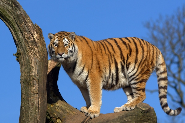 Tiger in tree: Tiger standing in tree, blue sky as background.