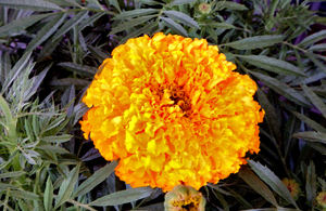 good luck marigolds4: marigolds in red pots available for Chinese-Lunar New Year celebrations
