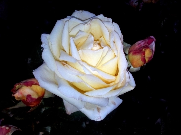 neutral rose: Night photography of natural rose by Huawei g730