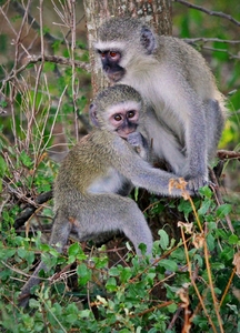 Vervet monkey: The vervet monkey, or simply vervet, is an Old World monkey of the family Cercopithecidae native to Africa.