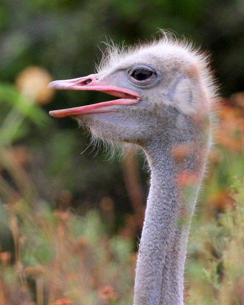 Ostrich: The ostrich or common ostrich is either one or two species of large flightless birds native to Africa, the only living member of the genus Struthio, which is in the ratite family