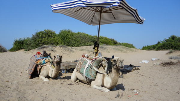 Camels in Turky