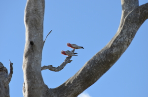 2 Galahs: 2 Galahs sitting on a dead eucalyptus tree on a background of a blue sky