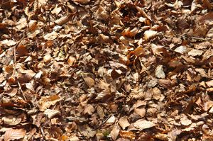 Dry, brown autumn leaves
