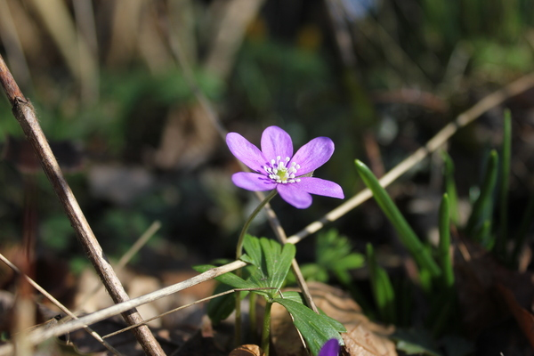 Blue Anemone In Focus