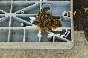 Bee Colony (2): bees building a hive on the underside of a water meter cover.