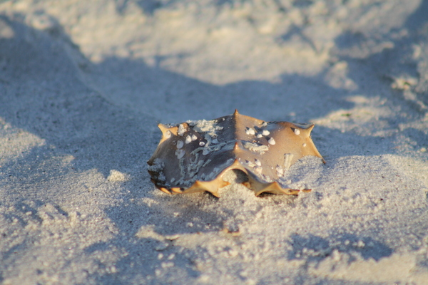 Horseshoe Crab Shell