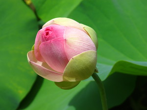 Pink Waterlily Bud