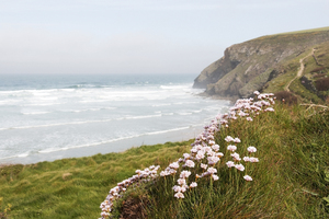 Thrift flowers: Coastal banks of wild thrift (Armeria) flowers in north Cornwall, England.