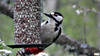 Swedish Woodpecker