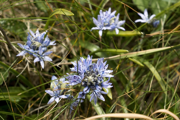 Wild squill flowers