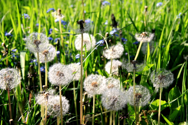 Blowballs in a meadow