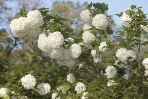 snowball bush: Snowball bush in bloom.