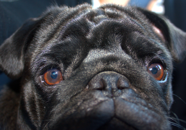 Close Up - A Nosy Pug