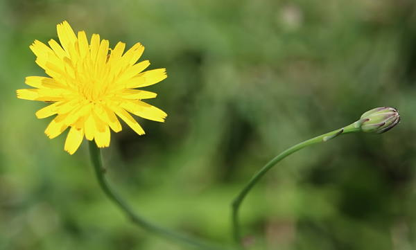 Dandelion and Bud
