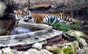 tiger in recline1