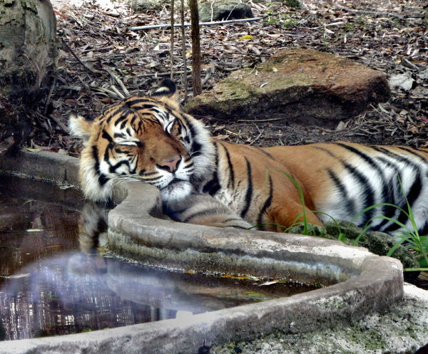 tiger in recline2