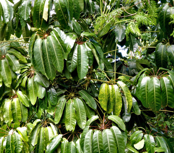 umbrella tree foliage