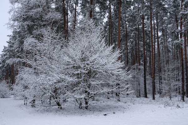 winter forest idyll