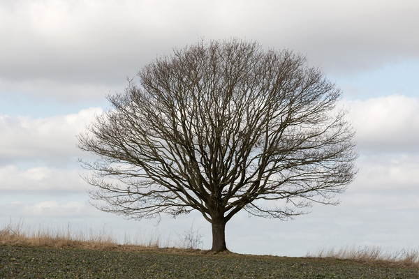 Lone tree: A lone oak tree in West Sussex, England, in winter.