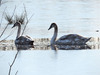 swans on icy lake