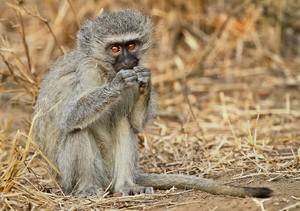 Vervet Monkey: Young Vervet Monkey (South Africa)