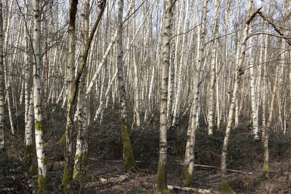 Birch forest: Birch (Betula) forest in very early spring in West Sussex, England.