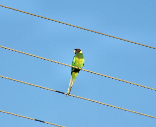 highwire parrot2