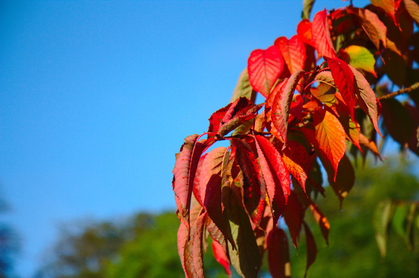 Autumn leaves: Red autumn leaves against a clear blue sky
