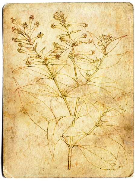 Botanical Drawing: Botanical drawing on old paper